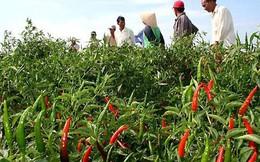Cay đắng vì trồng ớt cho doanh nghiệp