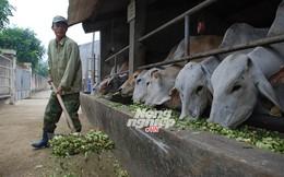 Bò Úc 'húc' bò ta
