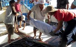 Câu và bảo quản cá ngừ kiểu Nhật