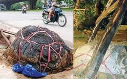 Thanh tra vụ trồng cây 'lộ' túi bọc bầu