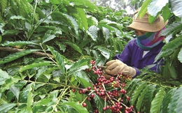 Ai đang lãnh đạo ngành cà phê Việt?