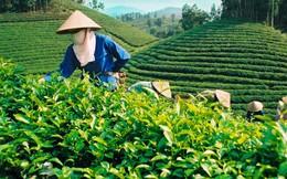 Gạo Việt, chè Việt: Chật vật tồn tại, thời gian đâu mà nghĩ tới làm thương hiệu