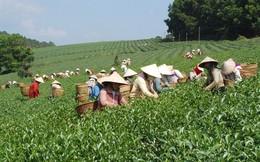Chè Việt Nam xuất khẩu bị trả lại: 'Đã nghèo còn neo'