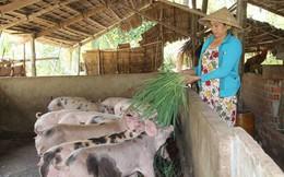 Thiếu giống vật nuôi ở ĐBSCL: Dùng con thương phẩm làm giống