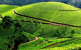 Trà Mộc Châu, cà phê Buôn Ma Thuột sẽ được bảo vệ mạnh hơn ở EU