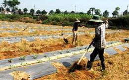 Người dân Quảng Ngãi lại hối hả trồng dưa hấu