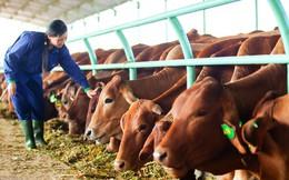 10 điều quan trọng nhất về mảng chăn nuôi bò của Hoàng Anh Gia Lai