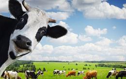 HAGL: Bán bò thành công cụ kiếm tiền số 1, doanh thu gấp 3 lần cùng kỳ
