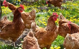 """Đây là lý do gà """"đi bộ"""" được khuyên chọn để mang đi hội nhập TPP"""