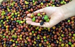 Biến đổi khí hậu đe dọa tương lai ngành cà phê Việt Nam