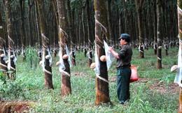 Việt Nam đang xếp thứ 3 thế giới về sản lượng cao su thiên nhiên
