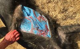 Mới phát hiện con lợn có thịt màu xanh da trời