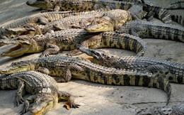 Muốn có bạc tỷ chỉ nuôi cá sấu