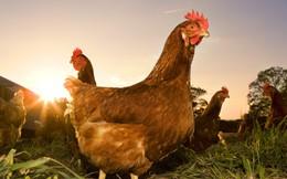 Sau gà Mỹ, gà EU có khiến ngành chăn nuôi 'lao đao' sau hội nhập?