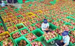 Vị đắng thanh long Bình Thuận