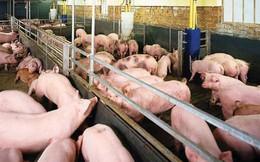 Giá thức ăn chăn nuôi thế giới dự báo tăng nhẹ, trong nước cao hơn khu vực 20%