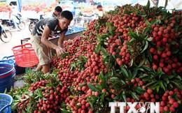 Một nửa số vải thiều tiêu thụ của Bắc Giang đã được xuất ngoại