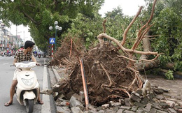 Giông lốc đổ 1.300 cây: Hà Nội trồng cây không phù hợp?