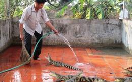 Ồ ạt nuôi cá sấu giống, cẩn thận khi thương lái trở kèo