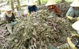 Vĩnh Long: Thương lái ngừng mua khoai, nông dân khó khăn