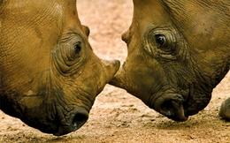 Nam Phi tận diệt tê giác