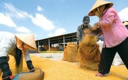 Giá lúa gạo Việt Nam: Vì sao lại thấp?