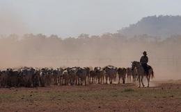 Nghề vỗ béo bò Úc không còn hấp dẫn