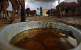 Tại Ấn Độ, nước tiểu bò bán rất chạy, chạy hơn cả sữa bò
