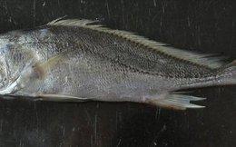 Cá biển xuất hiện ở Đồng Tháp Mười