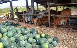 Dưa hấu 300 đồng/kg - ai cứu nông dân?