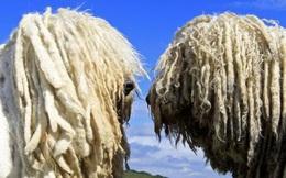 [Kinh tế học vui] Chó xù lông và kẻ bán thách