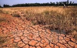 Thiệt hại vì hạn mặn ở ĐBSCL: Con số gây choáng