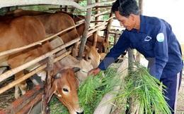 Quảng Ninh cấp phép dự án nuôi bò nghìn tỷ đồng ở vùng biên