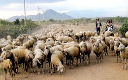Rày đây mai đó với nghề chăn thả gia súc