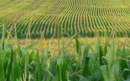 Nga chuẩn bị cấm nhập khẩu sản phẩm ngô, đậu nành từ Mỹ