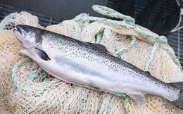 Một con cá hồi đắt hơn cả thùng dầu