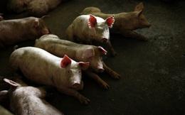 Tỷ phú Trung Quốc phất lên nhờ... lợn