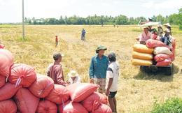 Thái Lan xả gạo, thị trường của Việt Nam có thể bị xáo trộn