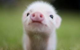 Thép Hòa Phát vừa nhập về 500 con lợn giống, cụ thể hóa 'mưu đồ' trở thành thế lực mới ngành chăn nuôi