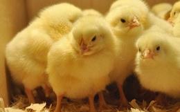 Băng chuyền tử thần: Nơi hàng nghìn chú gà con bị nghiền nát mỗi ngày
