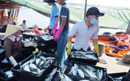 Quảng Bình: Cá về tàu nào bán hết tàu đó