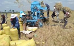 'Gạo Việt rồi chỉ bán được cho người nghèo'