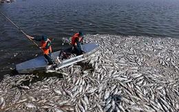 Cá hồ Tây chết hàng loạt do 4 nguyên nhân
