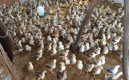 Bí ẩn trong trại gà không mùi, thu lãi tiền tỷ