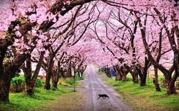 Hà Nội trồng 200 cây hoa anh đào Nhật tại công viên Hòa Bình
