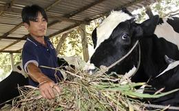 Vì sao dân Củ Chi phải đổ sữa cho heo ăn?