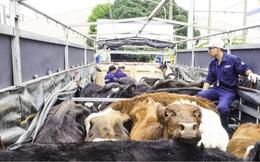 Đưa 220 con bò sữa organic về Việt Nam, Vinamilk nhắm tới phân khúc khách hàng cao cấp