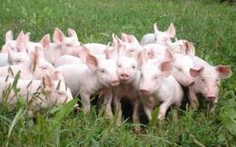 Kinh doanh lợn giống, doanh nghiệp này có tỷ suất lợi nhuận mà Masan hay CP phải thèm muốn