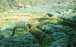 Thu tiền tỉ mỗi năm từ trồng cây atiso