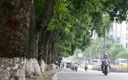 Sẽ chặt hạ, di chuyển hàng xà cừ đẹp nhất Hà Nội cạnh hồ Thủ lệ sau Tết